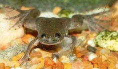 African Clawed Frog Classification and Evolution The African Clawed Frog is a large species of flat Frog that is primarily found dwelling . Dwarf Frogs, Frog Tank, Two Fish, Cute Frogs, Tropical Fish, Aquarium Fish, Amphibians, Science Nature, Cool Pictures
