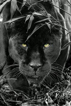 Wow....So...Stunning  Black Panther...