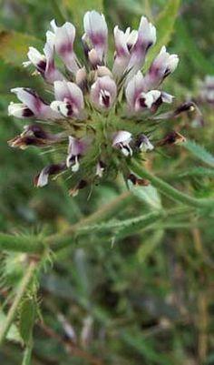 trifolium plant images - Google Search - Trifolium Obtusiflorum  -  Clammy Clover