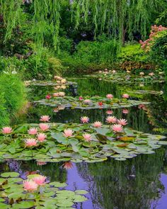 #waterlilies 💕 1 or