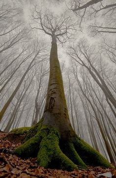 rainbowadvaya:  fuckyeahtrees:  treeroots:  verymuch:  The beech with human face. by Leszek Paradowski Nice Find!  #PadreMedium