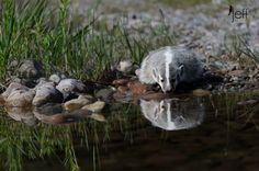 Badger Reflection by Jeff Wendorff