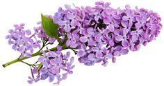 Transparent Lilac Clipart