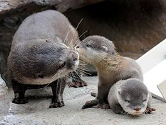 How cute are these Asian small-clawed otters? Scent is the most important communication for them - each otter's scent is as individual as a fingerprint. via SeaWorld Orlando Baby Zoo, Mom Baby, Cute Creatures, Beautiful Creatures, Animals Beautiful, Baby Otters, Cute Baby Animals, Animals And Pets, Funny Animals