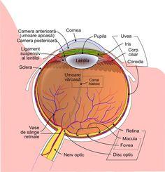 Ochiul uman funcționează prin focalizarea luminii pe un strat de celule fotoreceptoare numite retină, care formează căptușeala interioară a spatelui ochiului. Focalizarea se realizează printr-o serie de medii transparente. Lumina care intră în ochi trece mai întâi prin cornee. Science Notes, Acupressure Points, Human Body, Good To Know, Nursing, Health Care, Health Fitness, Study, Skin Care