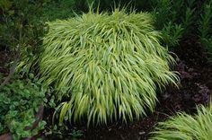 Hakonechloa Golden Variegated Grass (Hakonechloa macra 'Aureola') at Bachman's Landscaping