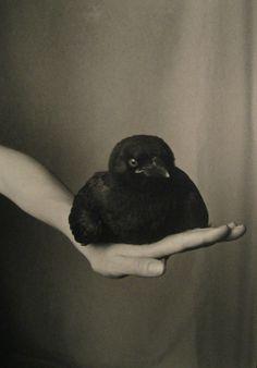 Fledgling American Crow on Hand  | Robert Langham