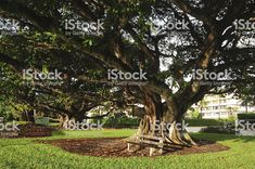 Huge Oak Tree with bench in Palm Beach, Florida royalty-free stock photo Palm Beach Florida, Oak Tree, Leaf Shapes, White Oak, Royalty Free Stock Photos, Bench, Landscape, Trees, Plants