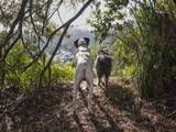 Two Dogs in Woods with View Veggoverføringsbilde av Henri Silberman