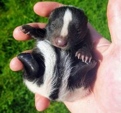 Our tiny little skunk baby. Baby Animals Pictures, Cute Animal Pictures, Cute Little Animals, Cute Funny Animals, Beautiful Creatures, Animals Beautiful, Baby Skunks, Gato Gif, Exotic Pets