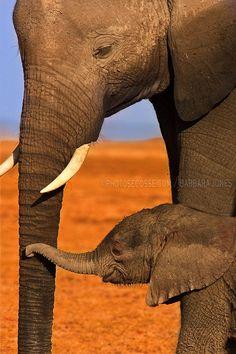 "earth-song:    ""Tenderness. Elephant Mother and Calf. Amboseli, Kenya. Africa."" by Barbara Jones"