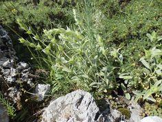 Mountain tea on Mt Cyllene (Ziria), Peloponnese, Greece.