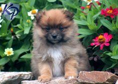Toby – Pomeranian Puppy  #pomeranian