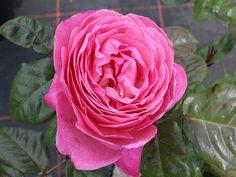 Kölner Flora ® Strauchrosen aus eigener Produktion in Top Gärtnerqualität - Hier bestellen und preisgünstig liefern lassen ! Flora, Plants, Shrub Roses, Garden Centre, Plant, Planets