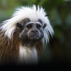 Another shot of one of the wonderful cotton-top tamarins at Drusillas.