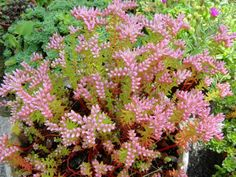 Sedum pulchellum (Widow's Cross) is a stonecrop with ascending to spreading pink to light green stems that typically rise up to 12 inches...