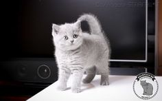 British Shorthair blue kitten playing https://starfall.lt/