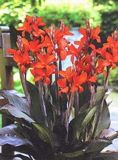 Canna Lily...just planted some and they are popping up!