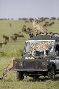 Governors Camp Collection Three cheetah from the litter of 6 using the Governors vehicle as a lookout over the migration