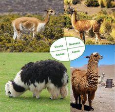 Llama vs Alpaca vs Vicuna | Keep learning...