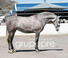 GRUPO PRE - THE PURE SPANISH HORSE WEBSITE