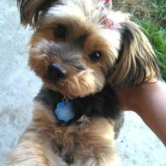 Morkie Haircut Pictures 3391 64 Best Morkie Haircuts Images In 2018 Morkie Puppies, Yorkie Puppy, Terrier Puppies, Yorkies, Poodle Puppies, Yorkie Cuts, Yorkie Hairstyles, Puppy Haircut, Haircut Pictures