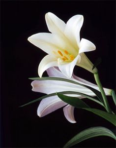 Did you get an Easter Lilly this past weekend? Monday, April 21, 2014 By: Deborah Kern  These flowers are deadly to cats