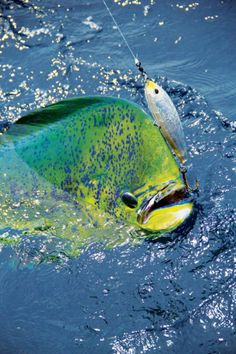 mahi photo by tony pena