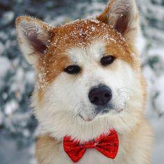 【ame_999】さんのInstagramをピンしています。 《セルビアにもやっと雪が降ってきた(*˘︶˘*)♡ #外国 #ヨーロッパ #セルビア #バルカン #雪 #山 #自然 #風景 #景色 #森 #山登り #散歩 #犬 #日本犬 #秋田犬 #子犬 #可愛い子ちゃん #真っ白 #冬 #笑顔 #akitaclub #japaneseakita #instadog #akita #akitaofinstagram #akitapuppy #dogstagram #hikingwithdogs #smilingdog #ametheakita》