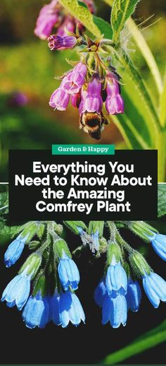 Herbal Gardening Ideas Everything You Need to Know About the Amazing Comfrey Plant - Garden and Happy Organic Gardening, Gardening Tips, Flower Gardening, Flowers Garden, Secret Garden Book, Plant Information, Edible Plants, Organic Vegetables, Growing Vegetables