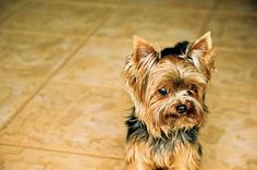 Yorkshire Terrier #Yorkie Dog