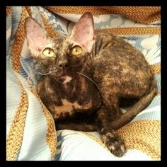 #sphinx #cats #sphinx #cats