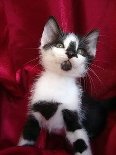 Cat Allergies - All The Great Stuff You Can Learn About Cats - Cat and Kittens Cute Cats And Kittens, I Love Cats, Crazy Cats, Cool Cats, Kittens Cutest, Funny Kittens, Ragdoll Kittens, Tabby Cats, Cute Kitten Pics