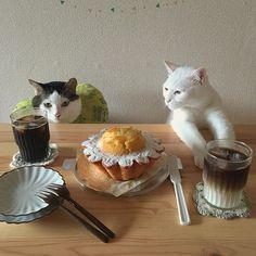 おはよ〜♪ ケーキ☀︎ サヤカチャンのお土産、ラクロワの焼き菓子♪ 美味しい〜❤︎甘さがお上品〜❤︎ そら〜おこちゃんも覗き込むわw ハッチャンは氷と睨めっこw 3回行ったけど、人気すぎて売り切れ…いつか生菓子も食べたいっ。 #八おこめ #ねこ部 #cat #ねこ #八おこめ食べ物
