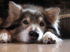 Utonagan. A mix of three breeds: Alaskan Malamute, German Shepherd, and Siberian Husky. I want one! #siberianhusky