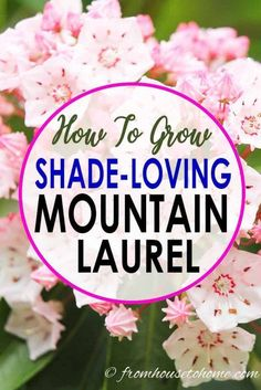 Shrubs Looking for a shade loving shrub that is evergreen and has beautiful flowers, Mountain Laurel (Kalmia latifolia) is easy to care for and the perfect bush for your shade garden. Find out all the details on how to grow it in your yard. Shade Loving Shrubs, Shade Shrubs, Shade Perennials, Shade Plants, Garden Shrubs, Shade Garden, Garden Plants, Witch's Garden, House Plants
