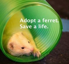 Ferret adoption allows you to save time & money. Best of all, it enables you to save the life of a ferret. Learn more about how to adopt a ferret today. Ferrets Care, Baby Ferrets, Funny Ferrets, Pet Ferret, Ferret Adoption, Ferret Accessories, White Ferret, Super Cute Animals, Thing 1