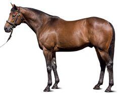 Teofilo (IRE) 2004 B.h. (Galileo (IRE)-Speirbhean (IRE) by Danehill (USA) European Champion 2YO Colt. 1st Dewhurst S (GB-G1), National S (IRE-G1). Standing at Darley Kelvinside, Australia & Kildangan Stud, Ireland.