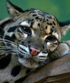 Panthère nébuleuse / Oncilla, little spotted cat found in of Central and South America. Small Wild Cats, Small Cat, Big Cats, Cool Cats, Cats And Kittens, Beautiful Cats, Animals Beautiful, Animals And Pets, Cute Animals