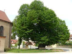 Tilleul de Turenne à Fontaine (Territoire de Belfort) - environ 700 ans - classé arbre remarquable de France