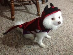 old white male Pomeranian. He is dressed as a little Devil. This will be his first Halloween dress up. Pet Halloween Costumes, First Halloween, Pet Costumes, Halloween Dress, Daily Record, Costume Contest, Pomeranian, White Man, Your Pet