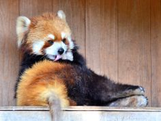 Which Red Panda Are You?