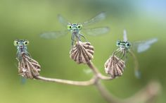 Ready to fly, Alberto Ghizzi Panizza on 500px.com It damselflies. They are slightly smaller than their relatives and  usually fly close to the ground, hunting for insects living in the grass.