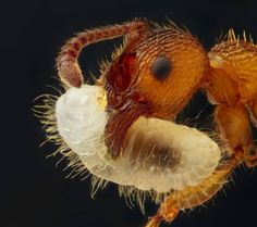 An ant carrying its larva.