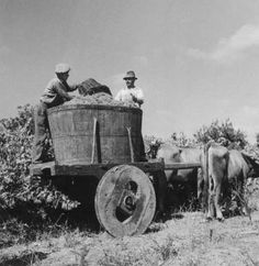 Grape harvest (Portugal) - photo by Artur Pastor Old Pictures, Old Photos, Vintage Photos, Nostalgic Pictures, Portuguese Culture, In Vino Veritas, Arte Popular, Spain And Portugal, Historical Photos