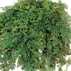 Green Fantasy Fern One Of Over 400 Varieties From Exotic