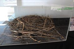 Nido de Gaviota reidora-Gavina vulgar-Chroicocephalus ridibundus. Exposición en el Delta Birding Festival 2017.