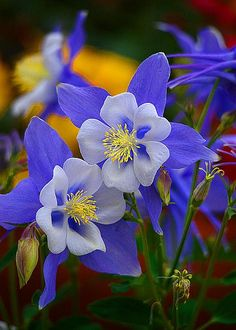 Colorado Columbine - by Lynn Bauer