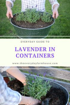 In this post I talk about planting lavender in containers. We look at the type of container to choose and also how to care for lavender in containers. Container Plants, Container Gardening, Gardening Tips, Organic Gardening, Kitchen Gardening, Gardening Books, Gardening Vegetables, Herb Garden, Lawn And Garden