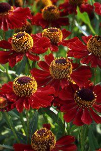 Helenium Rubinzwerg (Sneeze weed). 80cm H x 40cm W. Flowers June-September.